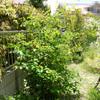 ジューンベリー収穫 始ま