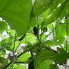 ベランダ菜園に蝉がやってきた