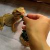 フトアゴヒゲトカゲの食事シーン可愛いすぎる!!