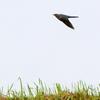 利根川土手上空を飛ぶツツドリ