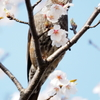 櫻とヒヨドリ