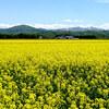 北海道滝川市の菜の花は滝の川エリアが穴場!