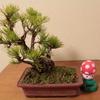 春の錦松盆栽植え替え