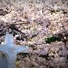 山手の桜 2017.4.13 Ⅷ