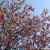 八重桜のお花見をしてきました @五日市 広島造幣局「花のまわりみち」