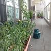ベランダ菜園週報8月10日「ミニトマトがフルリニューアル」