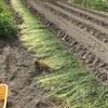 竹藪掃除/草マルチはうまくいくのだろうか
