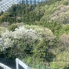熱海は桜で平和です