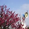 万博記念公園へ梅を見に行く②観光112...20210207大阪