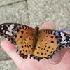 ♀の翅先が黒く目立つ蝶ツマグロヒョウモン 黄色と黒と赤色がとても美しい! しかし♂の模様は???