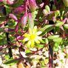 多肉植物 ルビーネックレスの花が咲きました!紅葉も進んでいます!