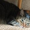 猫たちのワクチン接種と、ストルバイトと体重のこと