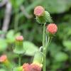 ベニバナボロギク  お利巧の花なのです