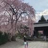 約70本のしだれ桜が楽しめる!駒ヶ根「光前寺庭園」