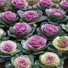 冬の花「ハボタン」