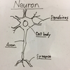 【Courseraで神経科学を学ぶ(1)】脳の中にはどんな細胞があるの?ニューロン、グリア細胞など。