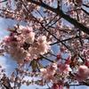 今年一番の桜をみに・・・