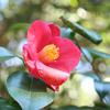 椿 & ハイドゥン camellia