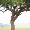 【タンザニア】セレンゲティ国立公園からカラトゥへ  木登りライオンとキリン達