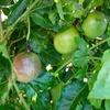 パッションフルーツの実が色づいてきました