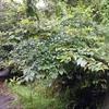 ネコノチチ  変な名前の木