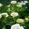 横須賀しょうぶ園で紫陽花を愛でる(OM-D E-M5 & α7)