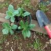 1月の生育状況 そら豆の移植と鳥害対策の実施