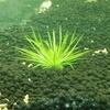 ホシクサ キネレウム 導入水草の紹介