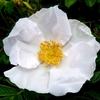 今日の花~季節になってきたハマナス(白花)