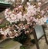 桜舞う季節には記憶も舞い戻ってきます🌸青木人生上京物語。
