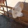 モコモコアルパカと無料で触れ合える山古志「アルパカ牧場」