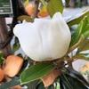 泰山木の花は儚く