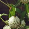 蜂が千日紅の蜜を吸っている