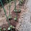 久しぶりののんびりとした休日。野菜を植えた。