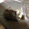 猫のしまちゃんも大好きなドッグマット(ビスコマット)