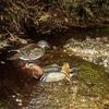 オシドリが繁殖していた。母親と7羽の雛