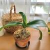 会社から持ち帰った胡蝶蘭、植え替えしてみました!大切に育てます~~