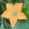 """畑からこんにちは! 0922    """" かぼちゃを通して解説!雌雄異花☝️ """"   秋植えを楽しもう・家庭菜園!"""