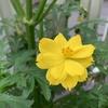 長く楽しめるキバナコスモス。梅雨時もビタミンカラーで花壇を明るくしてくれる。