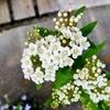 ブナにコデマリ、盆栽は新顔を迎えて模様替え