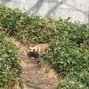 東山動物園のタヌキ