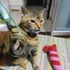 4月後半の #ねこ #cat #猫 どらやきちゃんA
