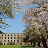 笹流ダムと新中野ダムの桜…