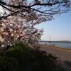 2017年4月14日の芦田川の桜