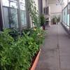 ベランダ菜園週報8月3日「空心菜が早くも発芽」
