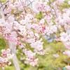 京都の桜 女一人旅 〜1日目 二条城編〜