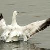 羽ばたく荒川のハクガン