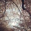 桜と猫と割りピンたち