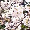 上野公園桜2019 うえの桜まつり・見頃時期・アクセス・花見情報