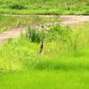 道を横切るサンカノゴイ